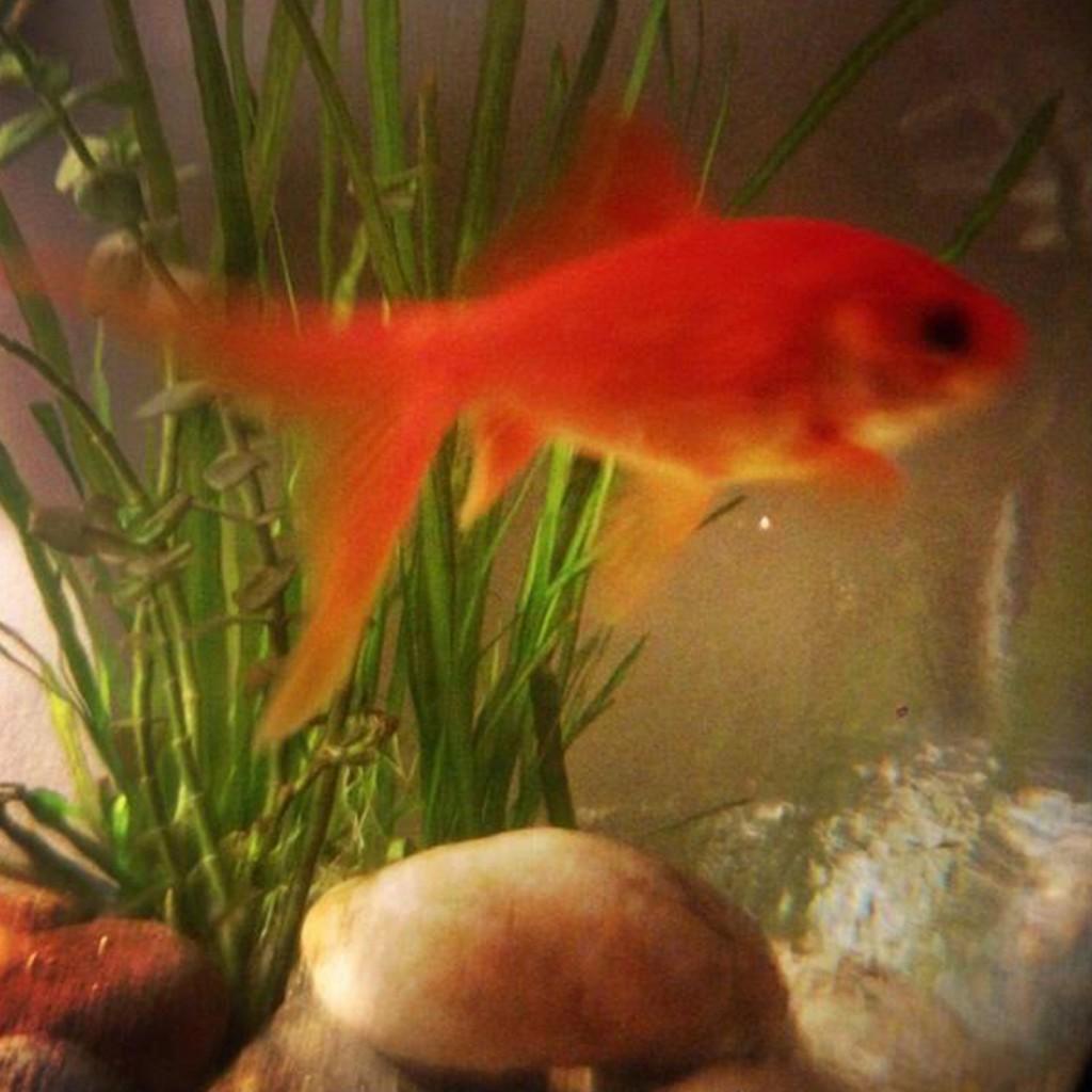 Catherine Rayner's goldfish